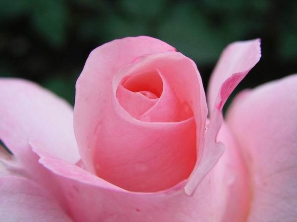 http://kryl.info/galerie/priroda/ruze-salamovy-kvet.jpg